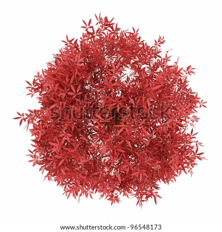 bonsai  japanese maple with red leaves  in pot Isolated over white - stock photo