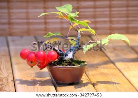 Bonsai Malus domestica - apple tree full of red apples in pot  - stock photo