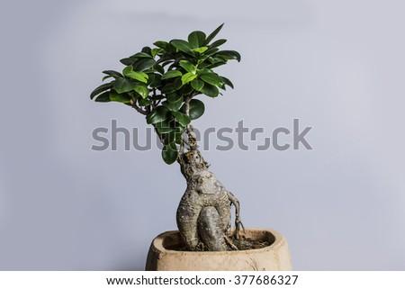 Bonsai On White Background - stock photo