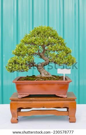 Bonsai pine tree against a green wall - stock photo