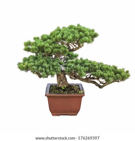 bonsai pine tree with a white background - stock photo