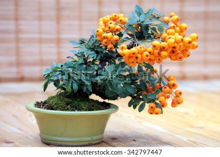 Bonsai Pyracantha angustifolia -  tree with fruits of orange color in pot - stock photo