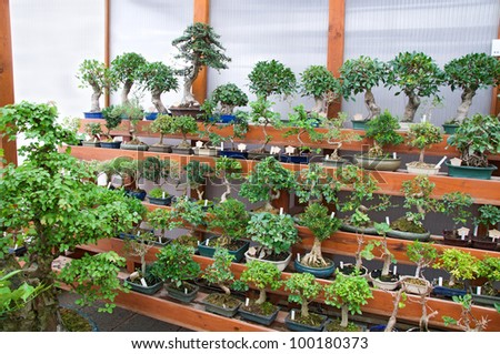 Bonsai shop, growing tree for sale - stock photo