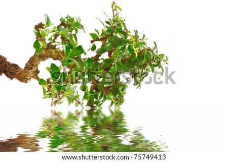 bonsai tree and its reflection in water - stock photo