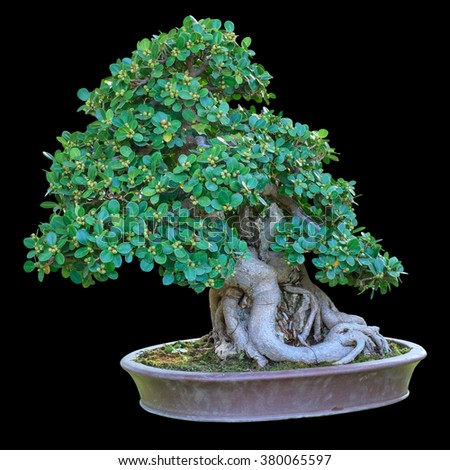 Bonsai tree in a ceramic pot isolated on black background. - stock photo