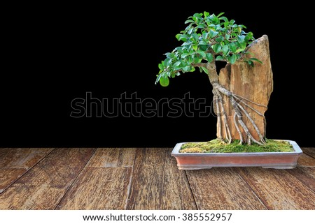 Bonsai tree in a ceramic pot on wood floor with isolated on black background for design with copy space for text or image. - stock photo