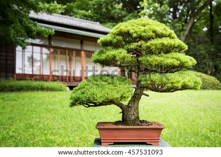 Bonsai tree in a Japanese Garden with traditional design building in background.  - stock photo