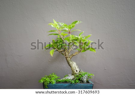 Bonsai tree in pot on wall background vintage style - stock photo