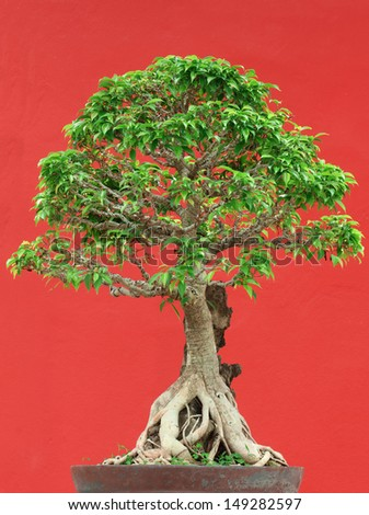 bonsai tree in potted on red wall background - stock photo