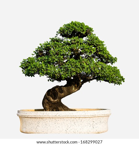 Bonsai tree isolated on white - stock photo