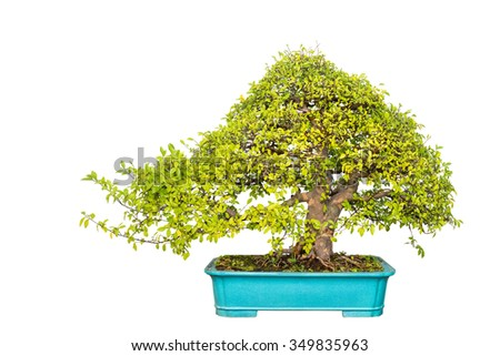 bonsai tree of chinese elm with a white background - stock photo