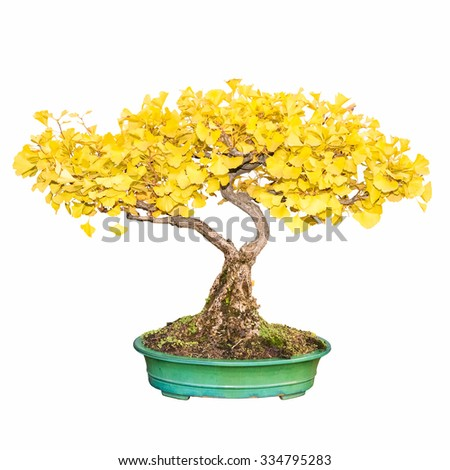 bonsai tree of ginkgo in autumn with a white background - stock photo