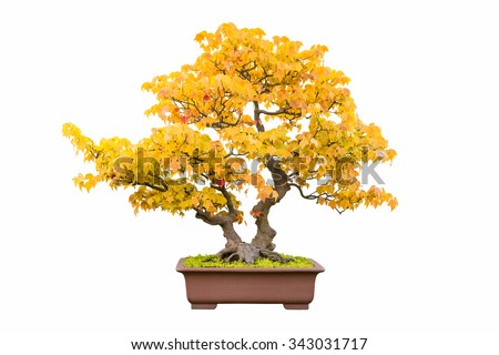 bonsai tree of trident maple in autumn - stock photo