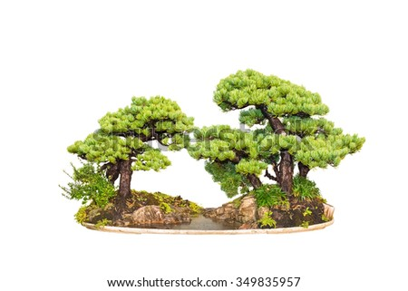 bonsai tree of two pines with a white background - stock photo