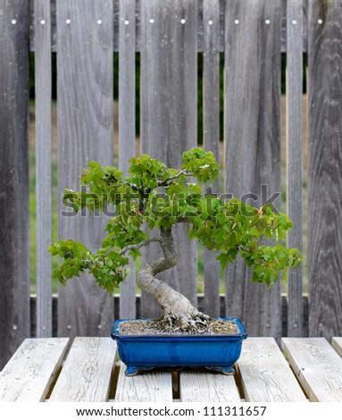 bonsai tree on display - stock photo