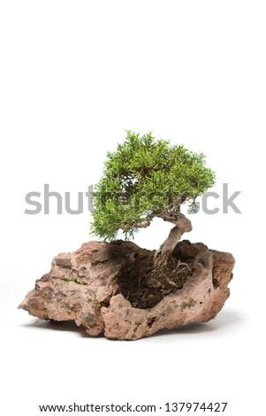 Bonsai tree on light background - stock photo