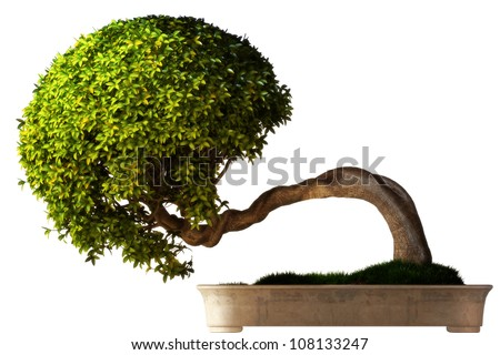 Bonsai tree side view with a white background. Part of a Bonsai series. - stock photo