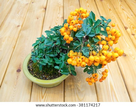 bonsai tree with orange berries in pot (Pyracantha) - stock photo