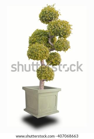 bonsai yello on White background - stock photo