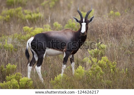 Bontebok antelope, Bontebok National Park, South Africa - stock photo