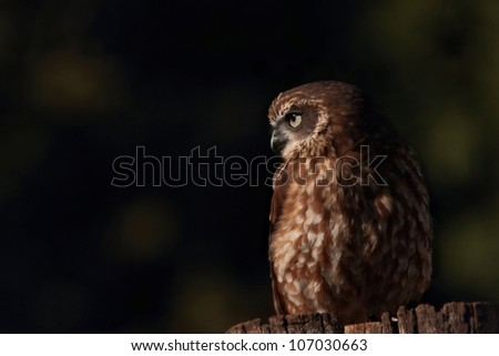 boobook or barking owl species lamington national park world heritage area - stock photo