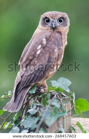 Boobook Owl - stock photo