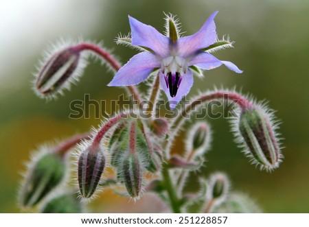 Borage flowers (Borago officinalis) - stock photo