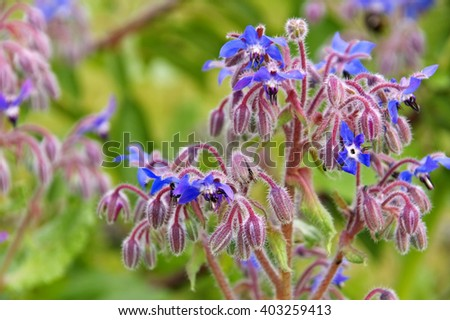 borage is blooming in blue, traditional spice - stock photo