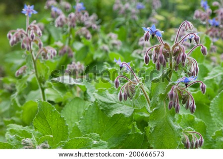 Borage officinalis rare blue flower in a garden - stock photo