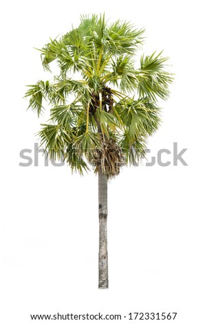 Borassus flabellifer, known by several common names, including Asian Palmyra palm, Toddy palm, Sugar palm, or Cambodian palm, tropical tree in the northeast of Thailand isolated on white background - stock photo