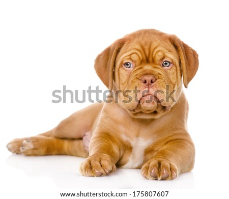 Bordeaux puppy dog looking at camera. isolated on white background - stock photo