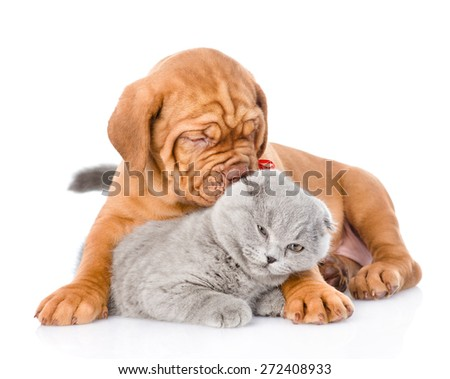 Bordeaux puppy dog  playing with a scottish cat. isolated on white background - stock photo