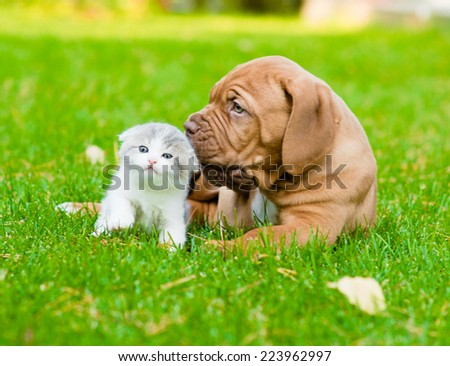 Bordeaux puppy dog sniffing a kitten on green grass - stock photo