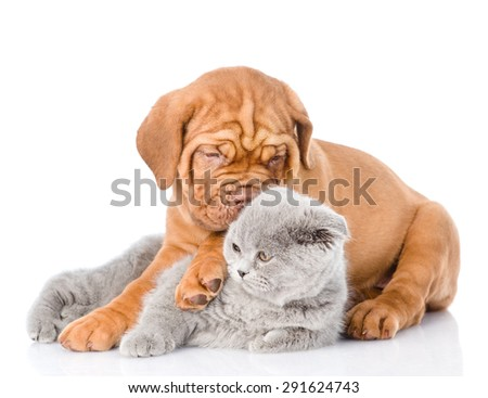 Bordeaux puppy embracing scottish cat. isolated on white background - stock photo