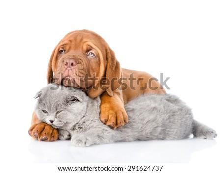 Bordeaux puppy embracing sleeping cat. isolated on white background - stock photo