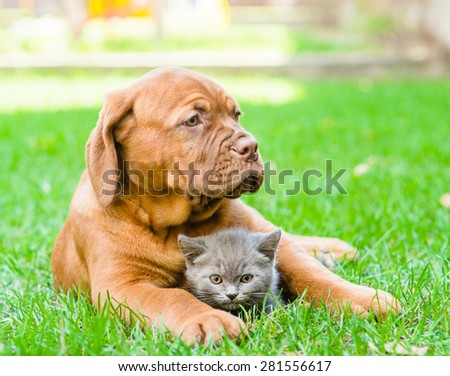 Bordeaux puppy hugging a kitten on the green grass. Focus on cat - stock photo