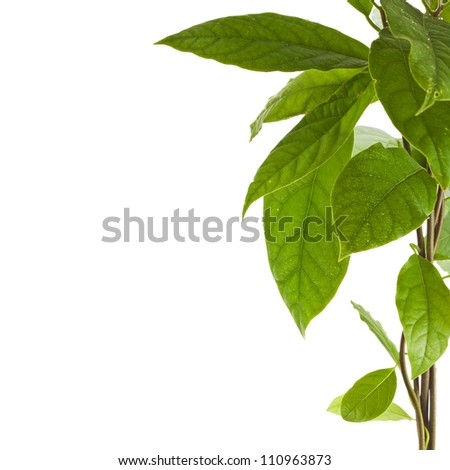 Border branch of avocado tree isolated on white background - stock photo
