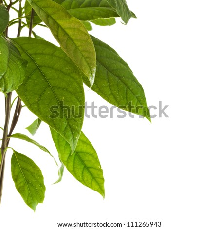 Border branch of avocado tree isolated on white background - stock photo