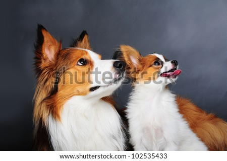 border collie and little papiyon puppy - stock photo