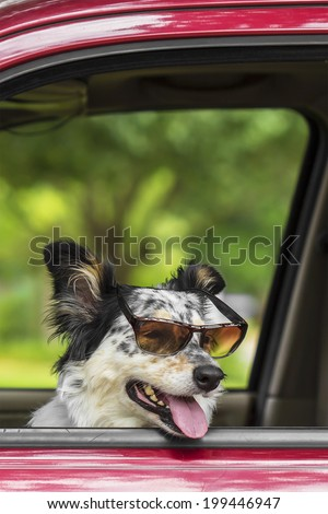 Border collie / Australian Shepherd dog in car with sunglasses looking happy ready expectant cute adorable hot friendly  - stock photo