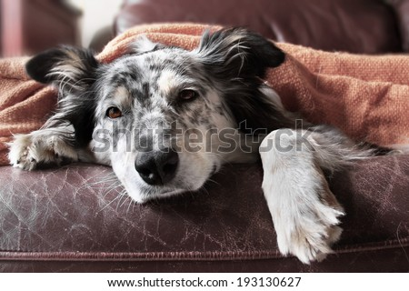 Border collie / australian shepherd dog on couch under blanket looking sad bored lonely sick - stock photo