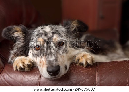 Border collie/ Australian shepherd dog on leather couch armchair looking sad bored lonely sick depressed melancholy sleepy tired worn out exhausted in recovery pleading - stock photo