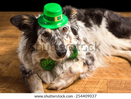 Border collie Australian shepherd dog wearing green Irish saint patrick day hat looking at camera and lying on wooden floor waiting watching ready to celebrate and party in observance of the holiday - stock photo