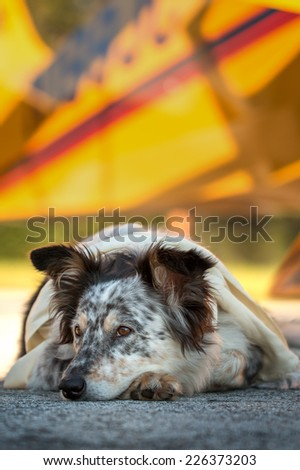 Border collie Australian shepherd mix dog lying down on runway in front of airplane with ears half alert wearing white scarf looking curious adventurous watching waiting listening expectant - stock photo