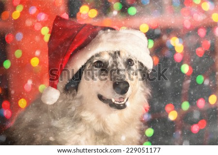 Border collie Australian shepherd mix dog wearing red santa hat with bokeh Christmas lights outside in the magical snow at night looking happy welcoming warm ready friendly celebratory - stock photo