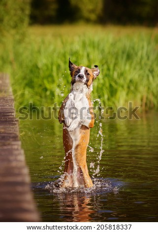 Border Collie bathes in water - stock photo