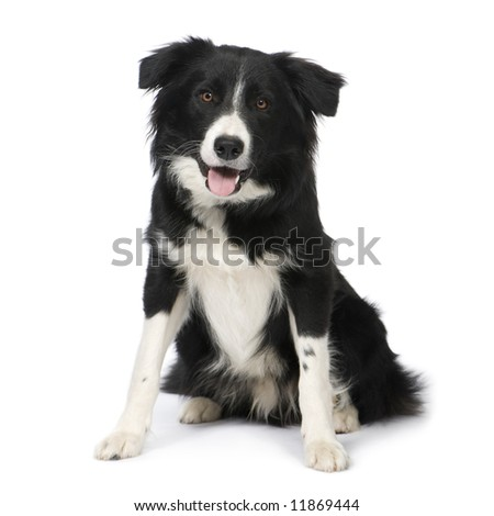 Border Collie Breed (9 months) in front of a white background - stock photo