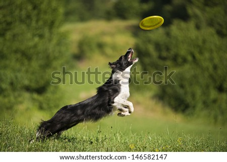 Border collie catching frisbee close up shoot - stock photo