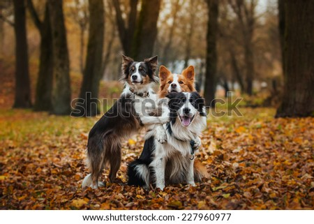 Border Collie dog breed in the park in autumn - stock photo
