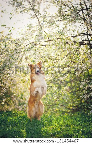 border collie dog playing on a background of white flowers in spring - stock photo